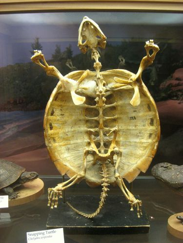 The turtle's carapace is composed of a modified spine and ribcage