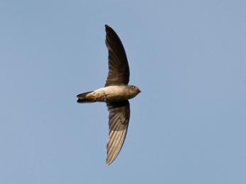 Black-nest swiftlet (Aerodramus maximus) at Upper Pierce reservoir, Singapore Source: Flickr, Photo by Wokoti, 7 Sept 2008.