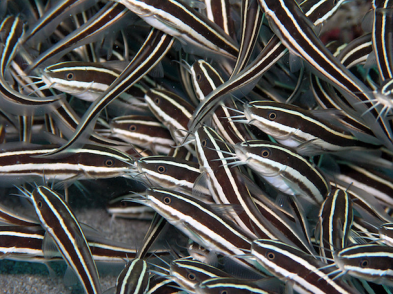 Plotosus lineatus Wikipedia Image