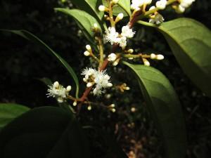 Symplocos adenophylla