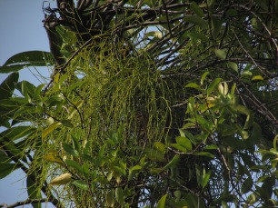 Found on St. John's Island, Viscum articulatum is a hyperparasitic mistletoe, i.e., a mistletoe that grows on another mistletoe, which in this case is Dendrophthoe pentandra. Photograph by Chong Kwek Yan.